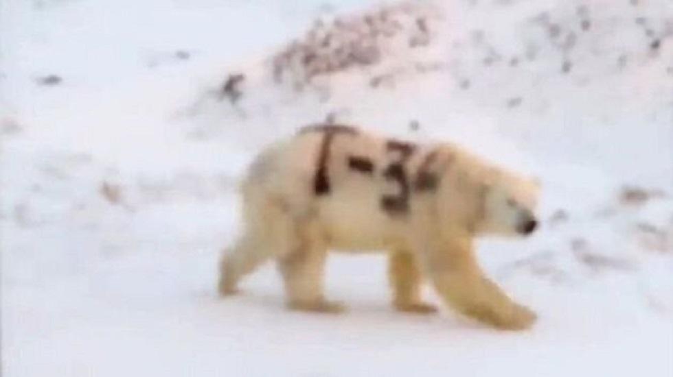 Ρωσία: Πολική αρκούδα σημαδεμένη με το «T-34» εγείρει ανησυχίες στους επιστήμονες (vid) | to10.gr