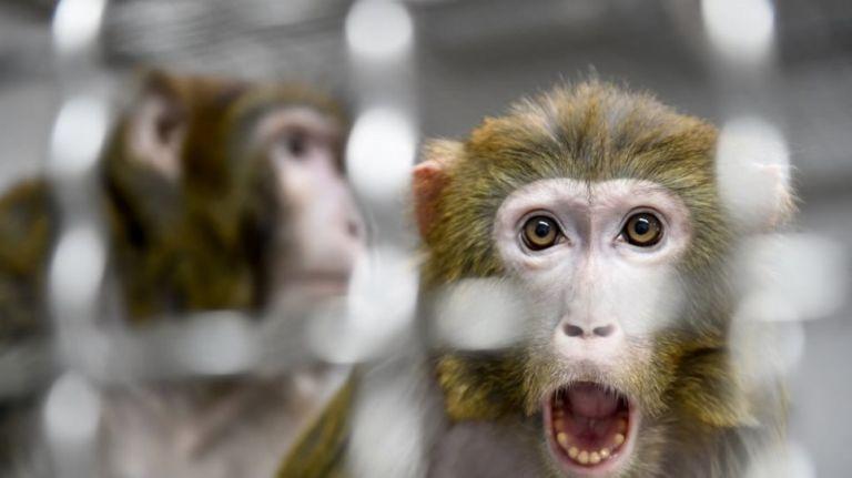 Μελέτες για τον κορωνοϊό: Πίθηκοι που μολύνθηκαν από τη νόσο απέκτησαν…   to10.gr
